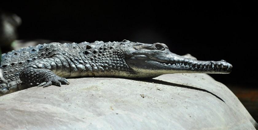 A freshwater crocodile lying on a large rock.