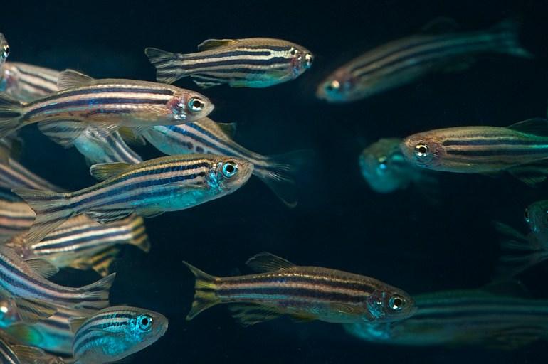 A close up view of zebra fish against a dark background.