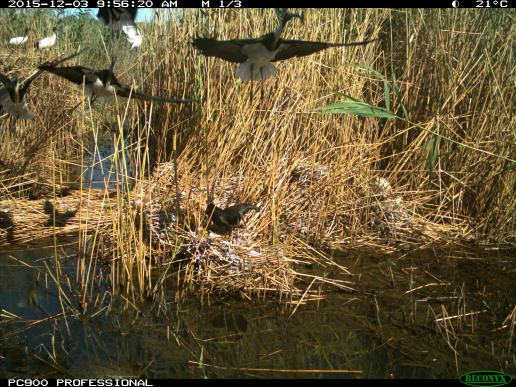 Straw-necked ibis take off from their nests. Image credit: CSIRO