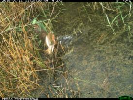 A swamp harrier (Circus approximans) chases a straw-necked ibis chick into the water (image 3). Image credit: CSIRO