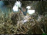 Royal spoonbill parents watch over their clutch. Image credit: CSIRO