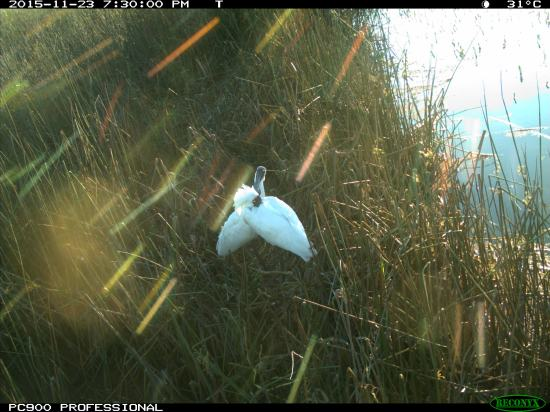 Two royal spoonbills share a romantic sunlit evening at the nest they are building. Image credit: CSIRO