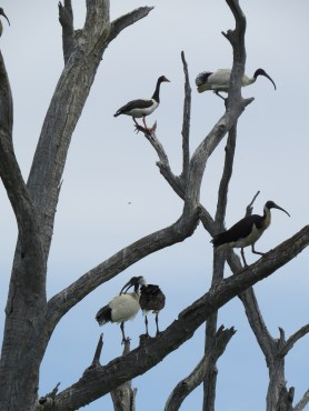 Magpie goose (top left), Australian white ibis (top right & bottom left), straw-necked ibis juvenile (bottom centre) & adult straw-necked ibis (bottom right). Image credit: Freya Robinson