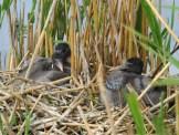 Older straw-necked ibis chicks. Image credit: Freya Robinson