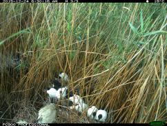 A mixed colony of Australian white ibis and straw-necked ibis chicks. Image credit: CSIRO