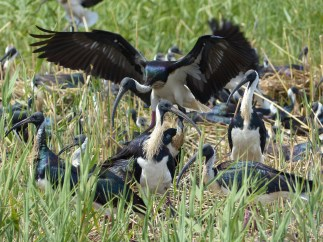 Straw-necked ibis at their nests. Image credit: Heather McGinness