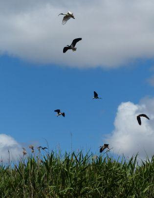 Straw-necked ibis in flight. Image credit: Heather McGinness
