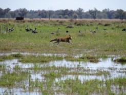 Fox on the fringe of Monkeygar colony. Image credit: Freya Robinson