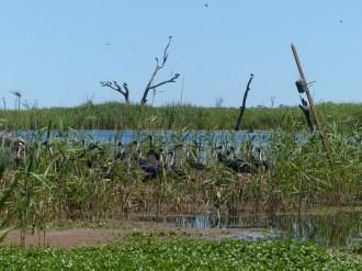 Camera over straw-necked ibis nests. Image credit: Heather McGinness