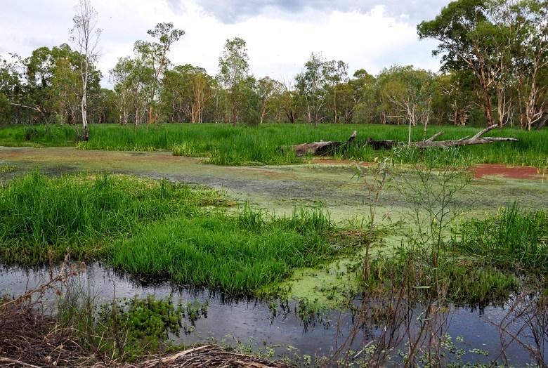 Wetlands covered in green gunge