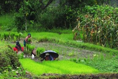 Harvest time, Nepal. Source: Tanya Doody, CSIRO