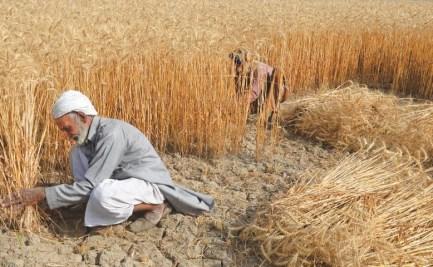 Wheat harvesting, Pakistan