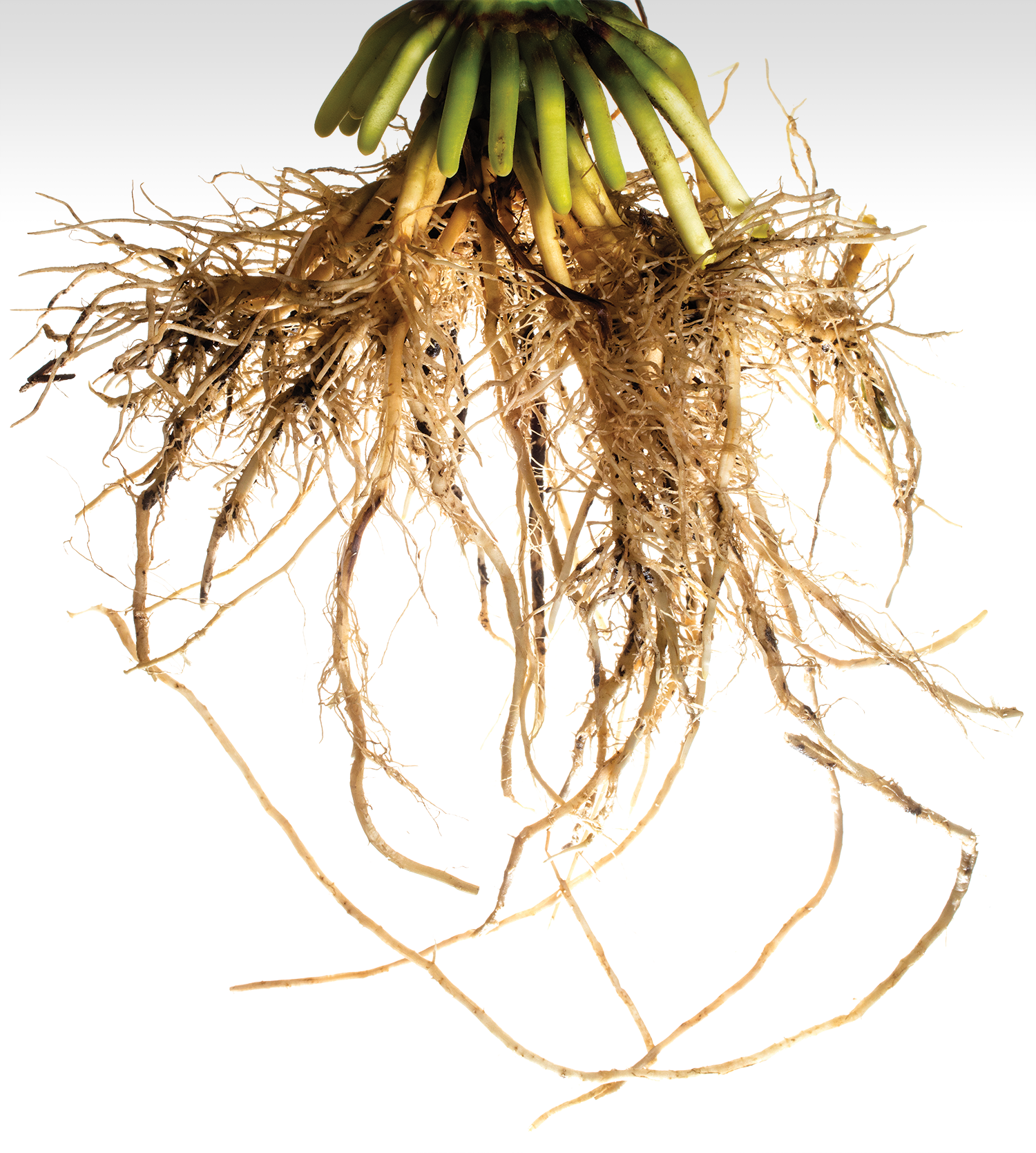 Getting To The Root Of Crop Improvements Research At