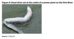 Figure 9: Dead silver eel at the outlet of a power plant on the Oria River