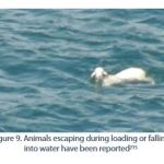 Figure 9. Animals escaping during loading or falling into water have been reported