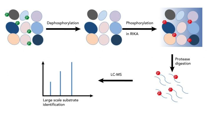 Figure 1. Large-scale identification of kinase substrates using the RIKA. Complex protein extracts are dephosphorylated then resolved on a RIKA gel. After an in-gel kinase reaction, proteins are digested by a protease, and phosphopeptides are analysed by high-resolution mass spectrometry.