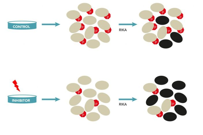 Figure 2. The RIKA identifies physiological kinase substrates. Only non-phosphorylated substrate molecules become labeled in a RIKA (blackened ovals). Kinase inhibition is predicted to increase the non-phosphorylated pool. This can be demonstrated by treating live cells with a kinase inhibitor, and quantifying the increase in RIKA-labeled peptides by high-resolution mass spectrometry.