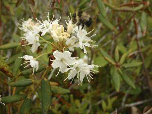 Labrador Tea, Rhododendron groenlandicum