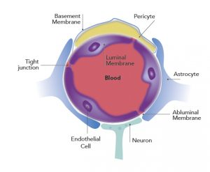 Cross-section of a microvessel in the blood–brain barrier