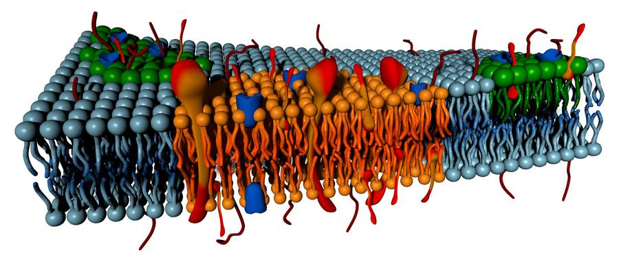 transmembrane proteins