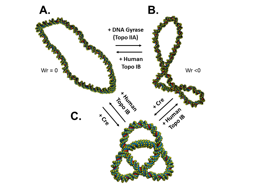 topoisomerases maintaining DNA topology