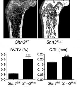 Osteoblast-specific deletion of Schnurri-3 promotes bone formation