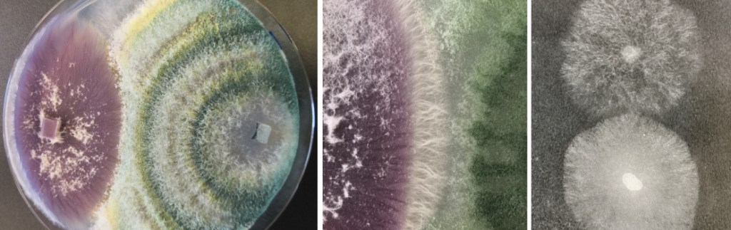 CRIB reporters allow tracking of fungal interactions on the cellular level.