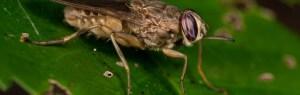 photo of a tsetse fly
