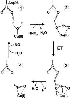 Nitrite Resonance Structures : nitrite, resonance, structures, Revised, Mechanism, Cu-containing, Nitrite, Reductase., Download, Scientific, Diagram
