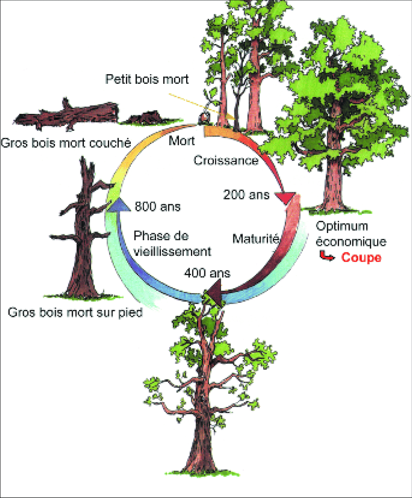 Cycle De Vie D'un Arbre : cycle, arbre, Cycle, Arbre,, L'exemple, Chêne., Forêt, De..., Download, Scientific, Diagram