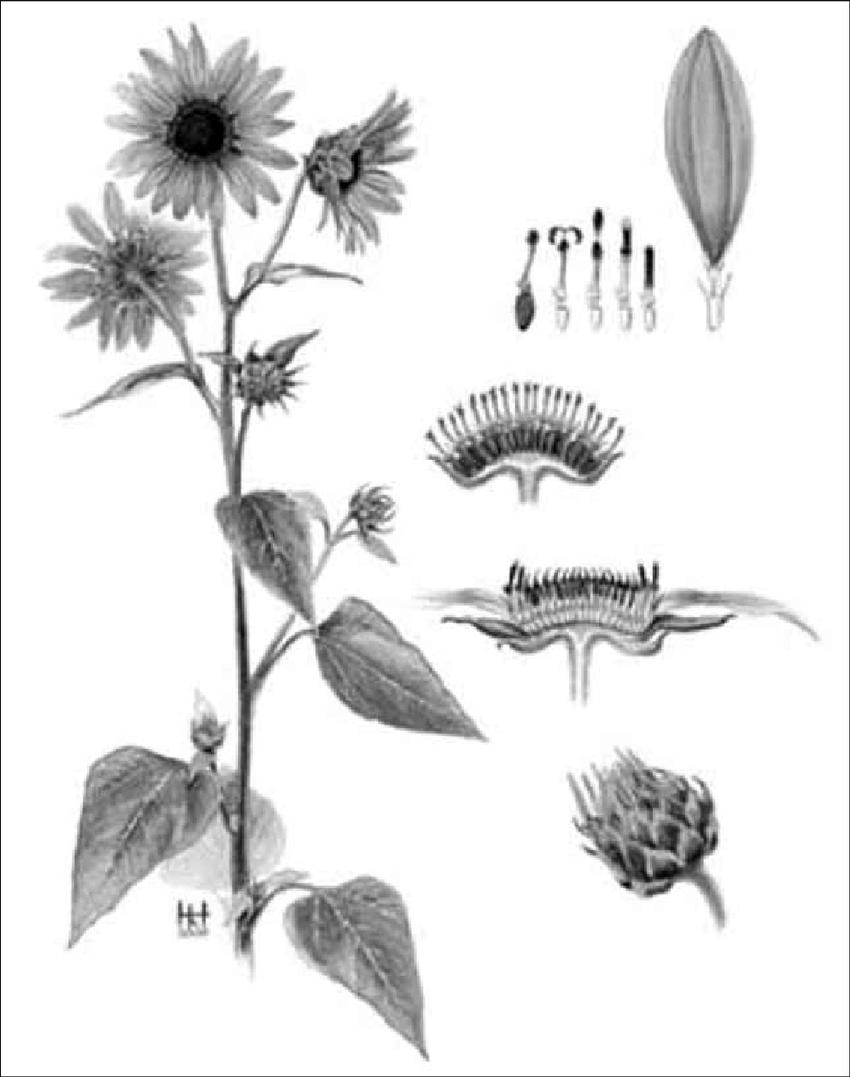 Sunflower Diagram : sunflower, diagram, 14-Sunflower, Anatomy., Download, Scientific, Diagram