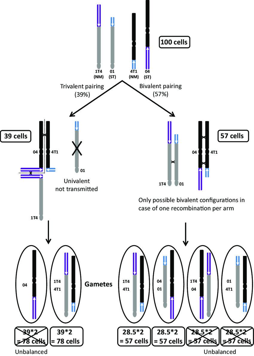 Translokasi Resiprok : translokasi, resiprok, Schematic, Representation, Chromosomal, Pairing, Within, Heterozygous..., Download, Scientific, Diagram