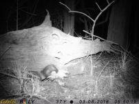 Opossum carrying something?