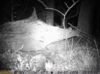 More opossum