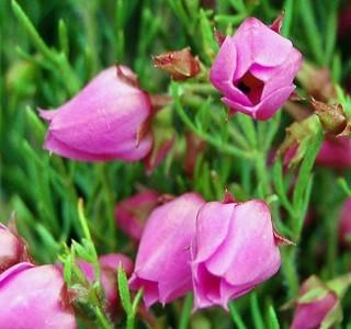 Boronia Purple