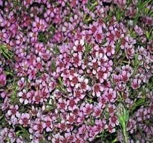 Waxflowers Dusty Pink