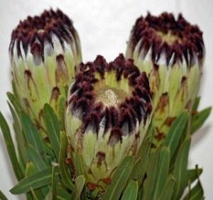 protea Green-Black-Mink Resendiz Brothers