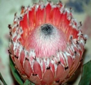 Protea Pink Floss Resendiz Brothers