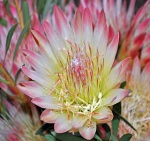 Protea Repens Resendiz Brothers California Flora