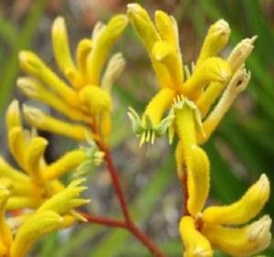 Kangaroo Paw Yellow Gem Resendiz Brothers Flora