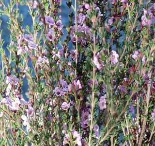 Filler Flowers Astartea Pink
