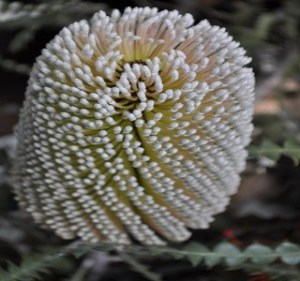 Banksia Speciosa Resendiz Brothers Flora