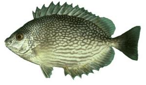 10 Jenis Ikan Laut Di Indonesia Yang Paling Sering Untuk Konsumsi