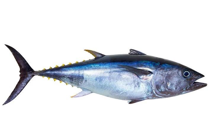 Perbedaan Mendasar Ikan Tongkol Cakalang dan Tuna