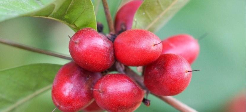 Mengenal Buah Miracle Berry, Manfaat, dan Kegunaannya