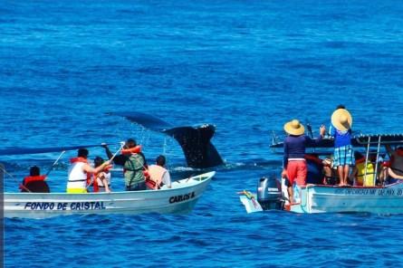 alistamiento de ballenas en guayabitos