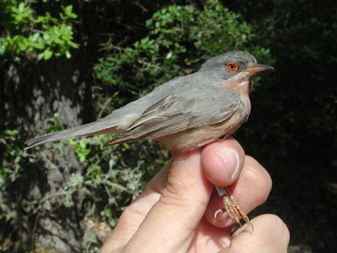 Moltoni's Warbler (Sylvia subalpine)