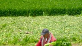 Cerro Punta Celery crop 3