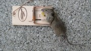 Tenant with Infestation Told to Eat Mice by Landlord