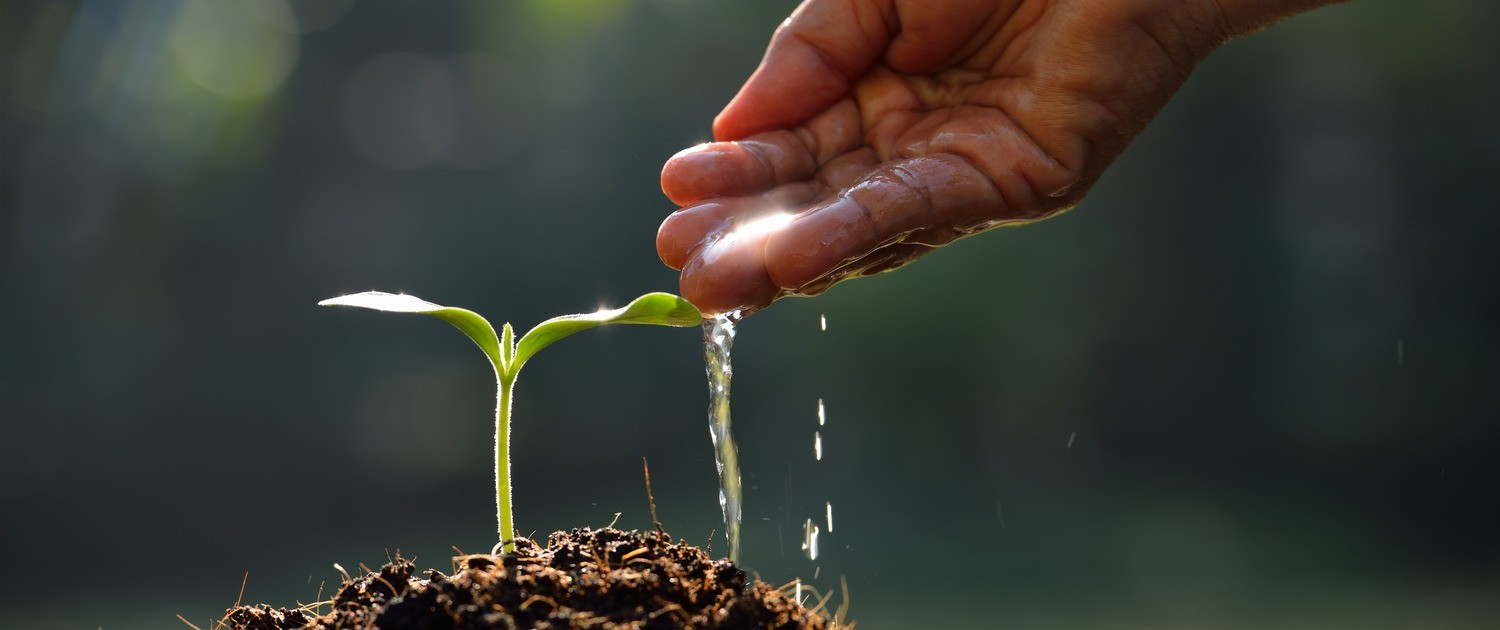 Handful of water being poured on seedling